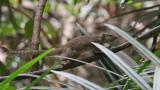 Ground Squirrel - Grond Eekhoorn