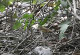Sedge Warbler - Rietzanger