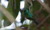 Collared Sunbird - Halsbandhoningzuiger