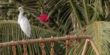 Cattle Egret and Yellow-billed Shrike - Koereiger en Geelsnavelklauwier