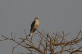 Black-shouldered Kite - Grijze Wouw