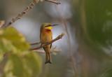 Little Bee-eater - Dwergbijeneter