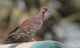 Speckled Pigeon - Guineaduif