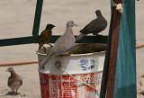 Drinking birds - Drinkende vogel