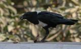 Pied Crow - Schildraaf