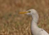 Cattle Egret - Koereiger