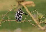 Pied Kingfisher - Bonte IJsvogel