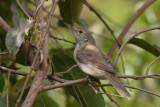 Western Olivaceous Warbler - Westelijke Vale Spotvogel