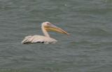 Great White Pelican - Roze Pelikaan