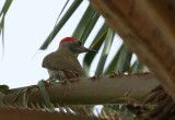 Grey Woodpecker - Grijsgroene Specht