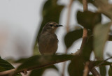 Mouse-brown Sunbird - Bruine Honingzuiger