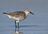 Red Knot (UY8)