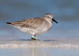 Red Knot (9KX)