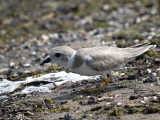 Piping plover ( defensive stoop )