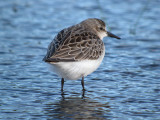 Semipalmated Sandpiper ( non breeding )