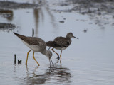 Greater Yellowlegs / Lesser Yellowlegs side by side