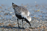 Black-bellied Plover (breeding)