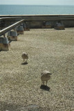 Seagull chicks 25th July