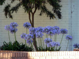 Agapanthus in Lower Templestowe, Melbourne