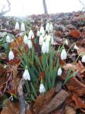 Snowdrops at Colesbourne, feb 2012