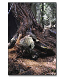 Bears-Den-in-a-Sequoia.jpg