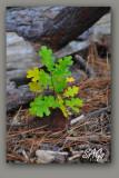 Black-Oak.jpg