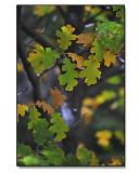 Black-Oak-Leaves.jpg