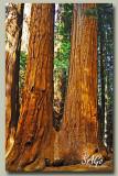Giant-Sequoia-1.jpg