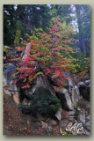Sequoia-NM-forest-in-fall-c.jpg