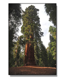 Southern-Sequoia.jpg