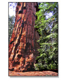 Young-and-Old-Sequoias.jpg