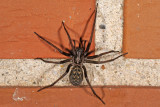 Common House spider, Tegenaria atrica, Stor Husedderkop 1