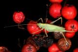 Drumming Katydid, Meconema thalassinum. Egegræshoppe 1