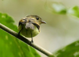Handsome Flycatcher