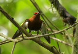 Club-winged Manakin