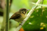 White-throated Spadebill