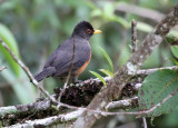 Chestnut-bellied Thrush