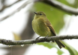 Flavescent Flycatcher