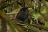 Long-tailed Tapaculo