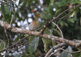 Striolated Puffbird