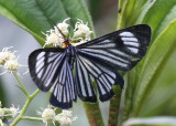Butterfly San-Andres
