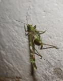 Grasshopper Mindo