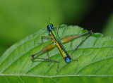 Family Eumastacidae