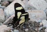 Papilio torquatus