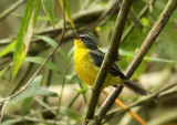 Gray-and-gold Warbler