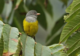 Gray-hooded Bush-Tanager
