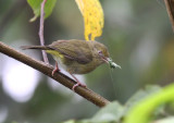 Olivaceous Greenlet