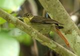 Rufous-tailed Foliage-Gleaner