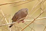 Ecuadorian Ground-Dove