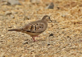 Plain-breasted Ground-Dove